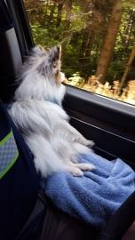 Quartz enjoying the scenery on a drive
